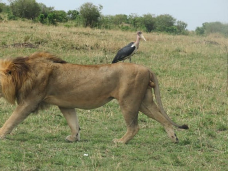 Face-off with Africa Big 5 at Masai Mara Safari