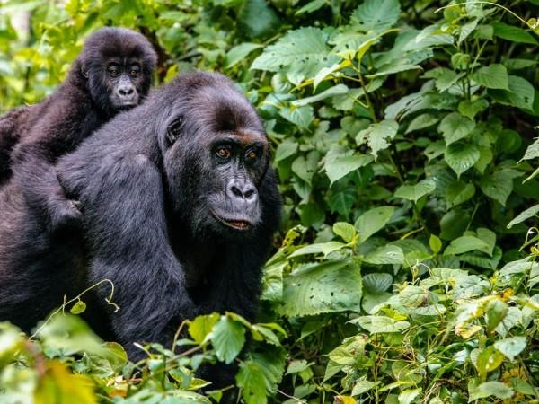 4 Day Rwanda Gorilla & Golden monkey Trekking Experience