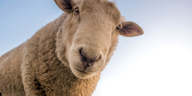 1 Great Day from Auckland - live Sheep Shearing & Sheep Dog Show, Manuka Honey - Private Tour